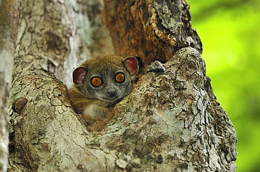 Ankarana Sportive Lemur (Lepilemur ankaranensis) peeking out of nest hole, Ankarana Special Reserve, northern Madagascar  -  Thomas Marent