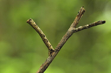 Looper Moth (Geometridae) caterpillar mimicking twig, Ankarana Special Reserve, northern Madagascar  -  Thomas Marent
