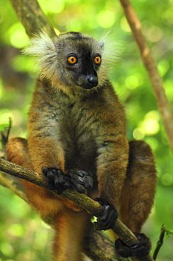 Black Lemur (Lemur macaco) female, Lokobe Nature Special Reserve, Madagascar  -  Thomas Marent