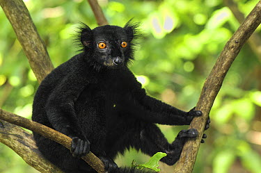 Black Lemur (Lemur macaco) male, Lokobe Nature Special Reserve, Madagascar  -  Thomas Marent