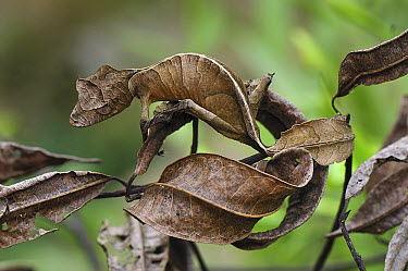 Fantastic Leaf-tail Gecko (Uroplatus phantasticus) mimicking leaves, Andasibe-Mantadia National Park, Madagascar  -  Thomas Marent