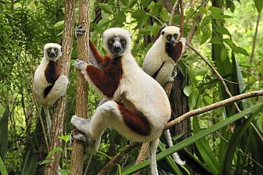 Coquerel's Sifaka (Propithecus coquereli) trio in trees, Ankarafantsika National Park, Madagascar  -  Thomas Marent