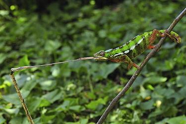 Panther Chameleon (Chamaeleo pardalis) male striking at an insect, Andasibe-Mantadia National Park, Madagascar  -  Thomas Marent