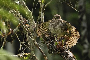 Madagascar Sparrowhawk (Accipiter madagascariensis) spreading wings, Andasibe-Mantadia National Park, Madagascar  -  Thomas Marent