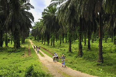 African Oil Palm (Elaeis guineensis) plantation and people, eastern Madagascar  -  Thomas Marent