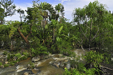 Screw Pine (Pandanus utilis) and Travellers Palm (Ravenala madagascariensis) forest and river near Mananara, eastern Madagascar  -  Thomas Marent