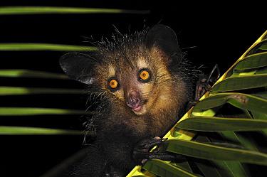 Aye-aye (Daubentonia madagascariensis), Mananara, eastern Madagascar  -  Thomas Marent