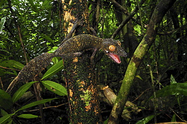 Common Flat-tail Gecko (Uroplatus fimbriatus) in defensive posture, Masoala National Park, Madagascar  -  Thomas Marent