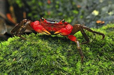 Arboreal Crab (Malagasya antongilensis), Masoala National Park, Madagascar  -  Thomas Marent