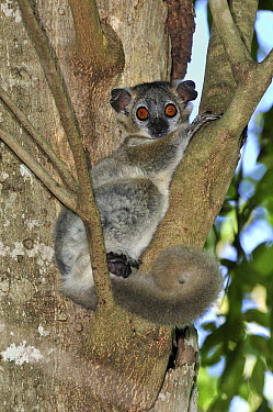 White-footed Sportive Lemur (Lepilemur leucopus), Berenty Private Reserve, Madagascar  -  Thomas Marent