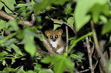 Brown Mouse Lemur (Microcebus rufus) at night, Berenty Private Reserve, Madagascar  -  Thomas Marent