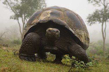 Volcan Alcedo Giant Tortoise (Chelonoidis nigra vandenburghi), Alcedo Volcano crater floor, Isabella Island, Galapagos Islands, Ecuador  -  Pete Oxford