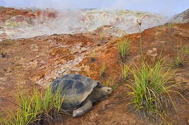 Volcan Alcedo Giant Tortoise (Chelonoidis nigra vandenburghi) and steaming fumaroles, Alcedo Volcano crater floor, Isabella Island, Galapagos Islands, Ecuador  -  Pete Oxford