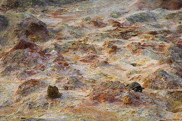 Volcan Alcedo Giant Tortoise (Chelonoidis nigra vandenburghi) and fumaroles, Alcedo Volcano crater floor, Isabella Island, Galapagos Islands, Ecuador  -  Pete Oxford