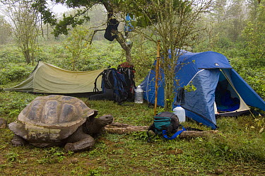 Volcan Alcedo Giant Tortoise (Chelonoidis vandenburghi) in campsite, Alcedo Volcano crater floor, Isabella Island, Galapagos Islands, Ecuador  -  Pete Oxford
