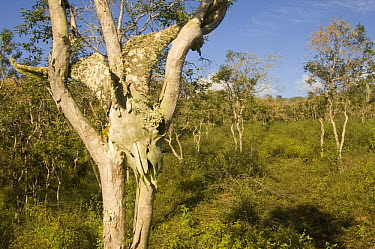 Feral goat skull hanging in tree in transition zone on Alcedo Volcano, Isabella Island, Galapagos Islands, Ecuador  -  Pete Oxford