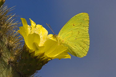 Galapagos Sulphur Butterfly (Phoebis sennae marcellina) feeding on cactus flower, Alcedo Volcano, Isabella Island, Galapagos Islands, Ecuador  -  Pete Oxford
