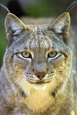 Eurasian Lynx (Lynx lynx), native to Europe  -  ZSSD