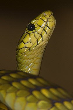 Green Mamba (Dendroaspis viridis) snake is the largest venomous snake in Africa, native to Africa  -  ZSSD