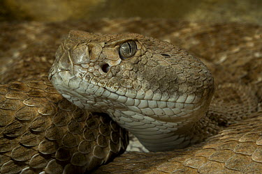 Red Rattlesnake (Crotalus ruber) portrait showing eye and pit sensory organ, native to North America  -  ZSSD