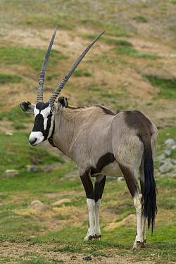 South African Gemsbok (Oryx gazella gazella), native to Africa  -  ZSSD