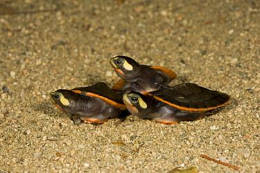 Red-bellied Short-necked Turtle (Emydura subglobosa) babies, native to Australia  -  ZSSD