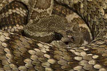 Southern Pacific Rattlesnake (Crotalus viridis helleri) coiled up showing head with sensory pit organ, North America  -  ZSSD