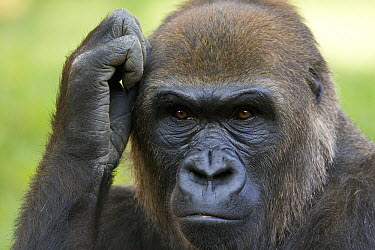 Western Lowland Gorilla (Gorilla gorilla gorilla) scratching its head, native to Africa  -  ZSSD