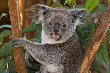 Queensland Koala (Phascolarctos cinereus adustus) in eucalyptus tree, native to Queensland  -  ZSSD