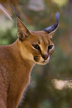 Caracal (Caracal caracal) portrait, native to Africa  -  ZSSD