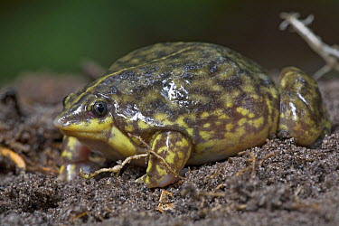 Mottled Shovel-nosed Frog (Hemisus marmoratus) has narrow pointed head that helps them bury themsleves with a great speed, they feed mostly on termites and other small insects, Mamang River Forest Res...  -  Piotr Naskrecki