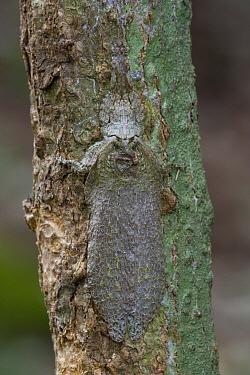 Lichen-mimicking Sylvan Katydid (Cymatomera chopardi) camouflaged on tree trunk, Ajenjua Bepo Forest Reserve, Ghana  -  Piotr Naskrecki