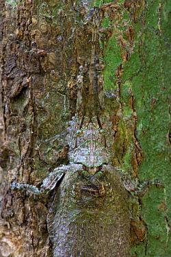 Lichen-mimicking Sylvan Katydid (Cymatomera chopardi), Ajenjua Bepo Forest Reserve, Ghana  -  Piotr Naskrecki