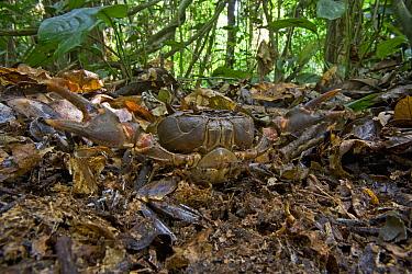 Crab (Liberonautes sp) in defensive posture camouflaged on forest floor, Mamang River Forest Reserve, Ghana  -  Piotr Naskrecki