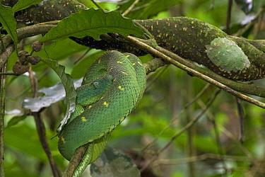 Green Bush Viper (Atheris chlorechis), Atewa Range, Ghana  -  Piotr Naskrecki