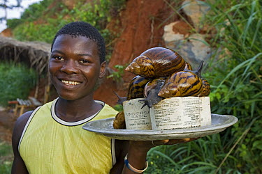 Giant African Land Snail (Achatina sp) group on platter, Atewa Range, Ghana  -  Piotr Naskrecki