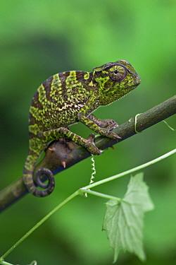Graceful Chameleon (Chamaeleo gracilis) sub-adult, Atewa Range, Ghana  -  Piotr Naskrecki