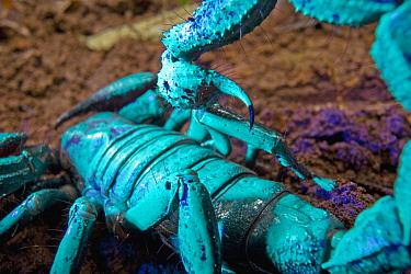 Emperor Scorpion (Pandinus imperator) seen under ultraviolet light, Atewa Range, Ghana. Sequence 2 of 2  -  Piotr Naskrecki