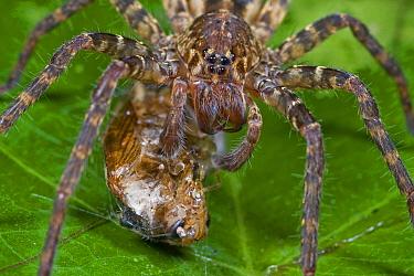 Spider and prey, Atewa Range, Ghana  -  Piotr Naskrecki