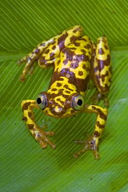 Pygmy Leaf-folding Frog (Afrixalus vibekensis), Atewa Range, Ghana  -  Piotr Naskrecki