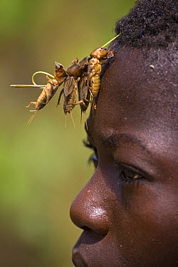 Mole Cricket (Gryllotalpa sp) group used as bait for fishing, lodged in boy's hair, Rio Kapatchez, Guinea  -  Piotr Naskrecki