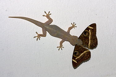 Moreau's Tropical House Gecko (Hemidactylus mabouia) catching moth, Mkambati Nature Reserve, South Africa. Sequence 1 of 3  -  Piotr Naskrecki