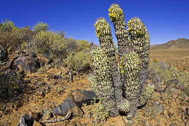 Alston's Hoodia (Hoodia alstonii) in succulent karoo habitat, Richtersveld, Northern Cape, South Africa  -  Piotr Naskrecki