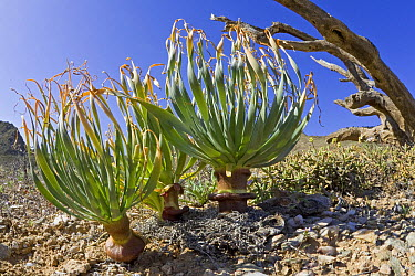 Geophyte plant in succulent karoo habitat, Richtersveld, Northern Cape, South Africa  -  Piotr Naskrecki