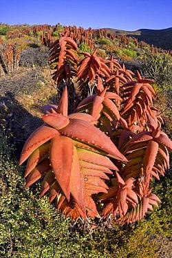 Pearson's Aloe (Aloe pearsonii) in succulent karoo habitat, Richtersveld, Northern Cape, South Africa  -  Piotr Naskrecki