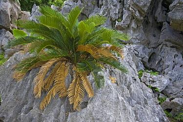 Sago Cycad (Cycas revoluta) plants on karst rock formations, Hedo, Okinawa, Japan  -  Piotr Naskrecki