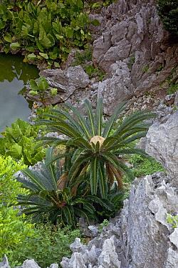 Sago Cycad (Cycas revoluta) trees on karst formation, Hedo, Okinawa, Japan  -  Piotr Naskrecki