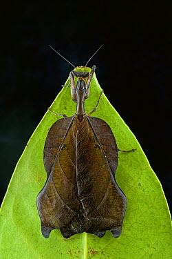 Mantid (Acanthops sp) mimicking leaf, Brownsberg Reserve, Surinam  -  Piotr Naskrecki