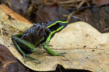 Three-striped Poison Dart Frog (Ameerega trivittata) male carrying tadpoles, Brownsberg Reserve, Surinam  -  Piotr Naskrecki