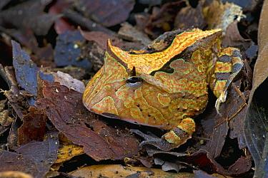 Amazon Horned Frog (Ceratophrys cornuta) camouflaged in leaf litter, Brownsberg Reserve, Surinam  -  Piotr Naskrecki